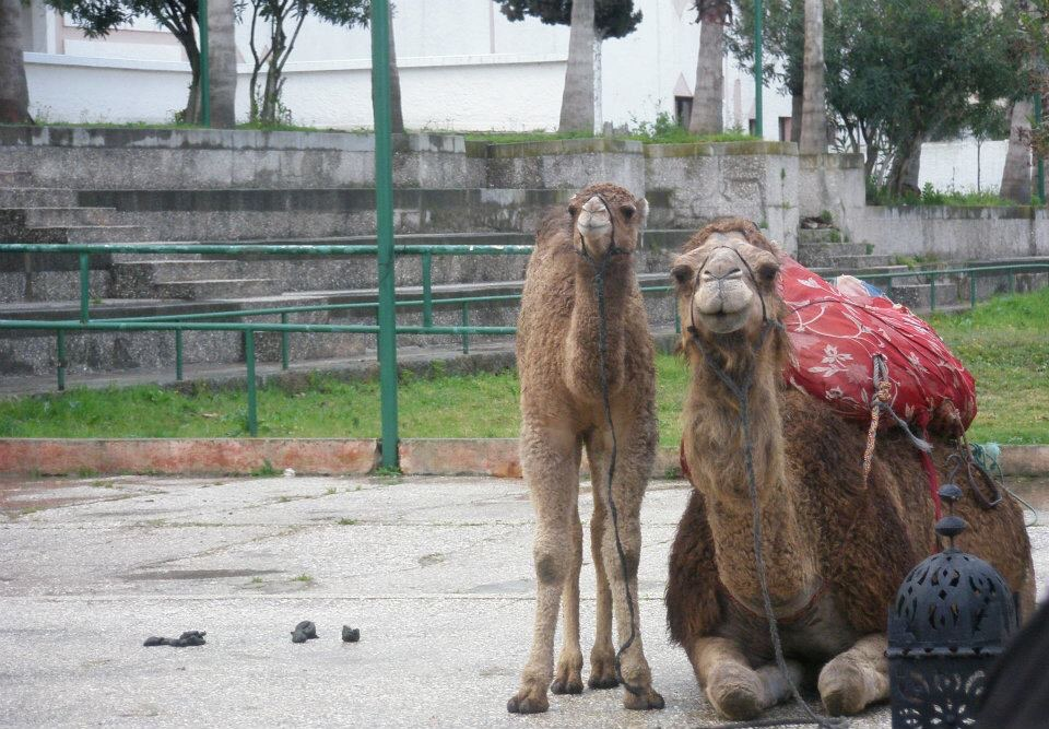 Camels in Tangier, Morocco